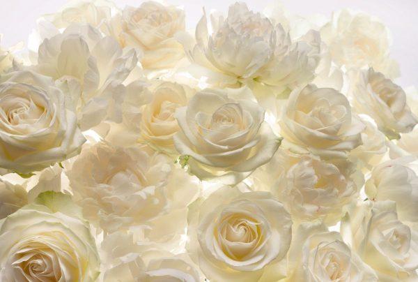 Fotobehang witte rozen